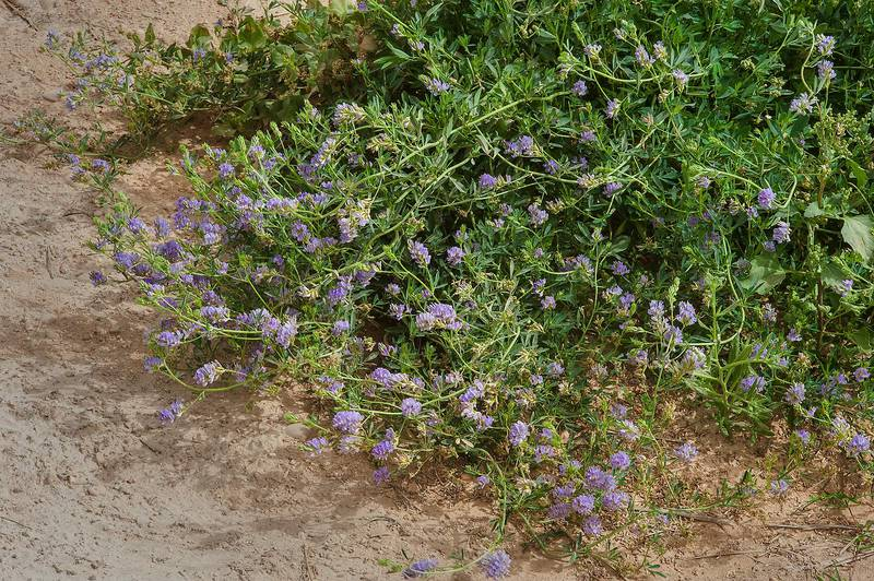 Bush of alfalfa (lucerne, Medicago sativa, local names jet, barseem) near a pond on Green Circles (center-pivot irrigation) in Irkhaya (Irkaya) Farms. Qatar, April 10, 2015