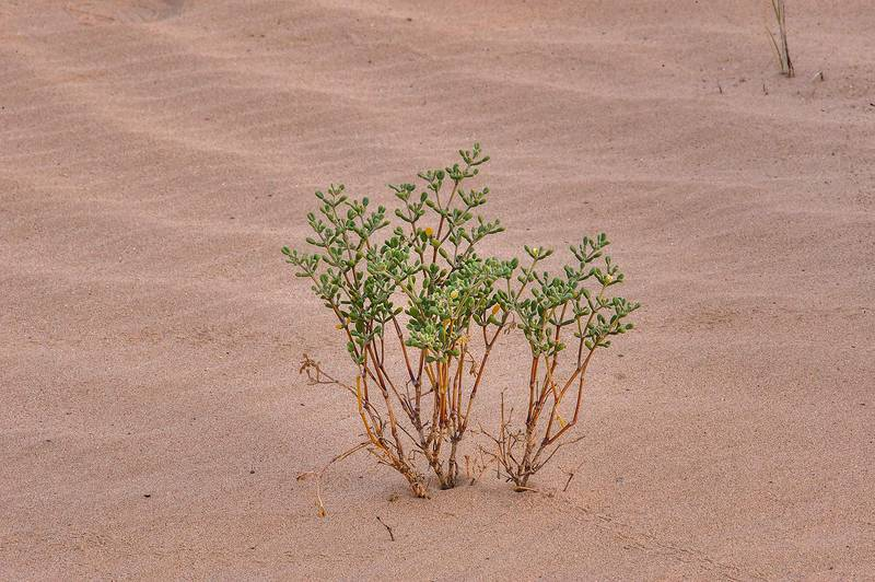 Tetraena qatarense (Zygophyllum qatarense) in windblown sand on roadside of Salwa Road in area of Rawdat Ekdaim. Southern Qatar, April 11, 2015