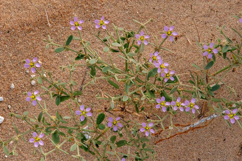Fagonia indica with flowers in windblown sand on roadside of Salwa Road in area of Rawdat Ekdaim. Southern Qatar, April 11, 2015