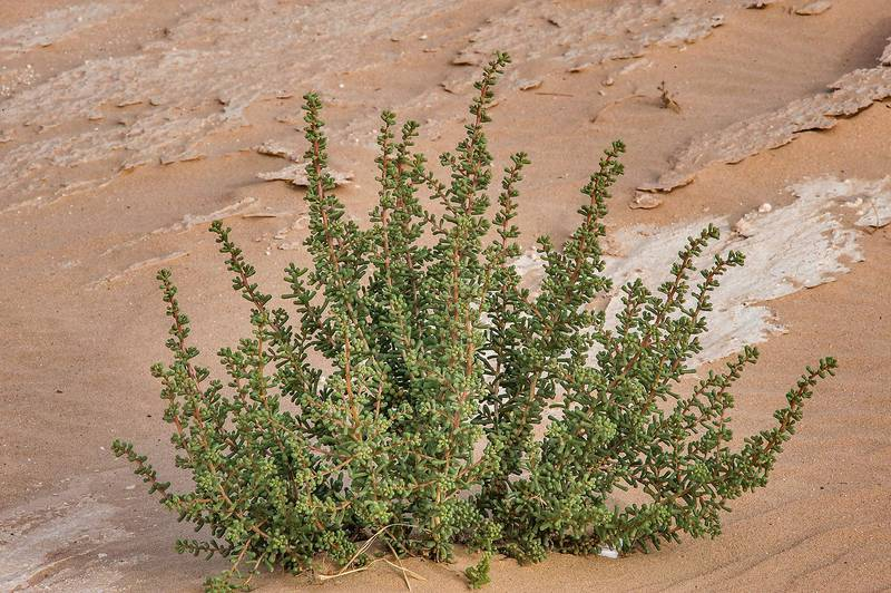 Bush of Salsola drummondii with club-shaped variation of leaves in windblown sand on roadside of Salwa Road in area of Rawdat Ekdaim. Southern Qatar, April 11, 2015