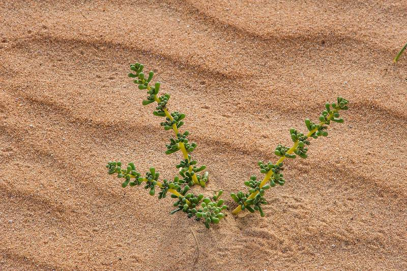 Young plant of Salsola drummondii with clavate and club-shaped variation of leaves in windblown sand on roadside of Salwa Road in area of Rawdat Ekdaim. Southern Qatar, April 11, 2015