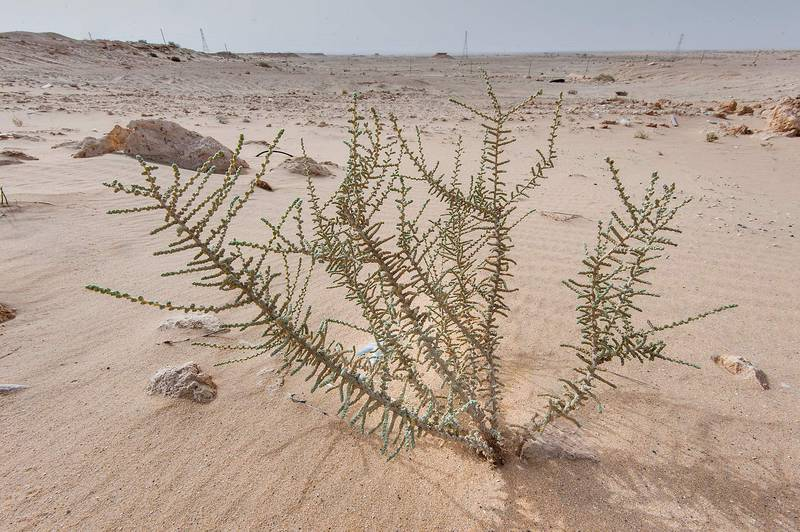 Salsola cyclophylla in windblown sand on roadside of Salwa Road in area of Rawdat Ekdaim. Southern Qatar, April 11, 2015