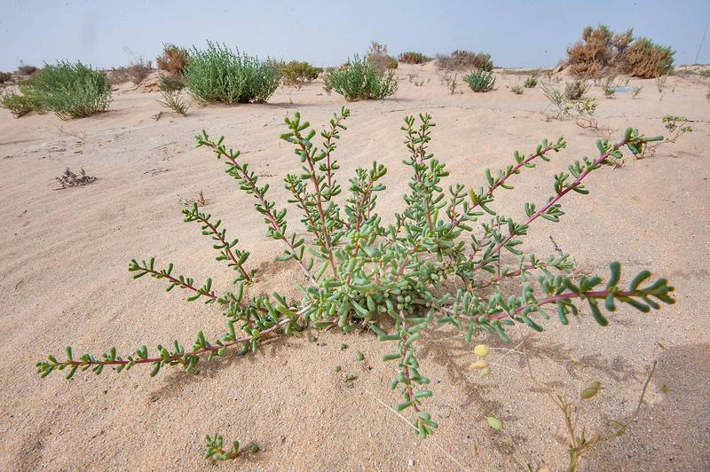Salsola drummondii with clavate and cylindrical shaped variation of leaves in windblown sand on roadside of Salwa Road in area of Rawdat Ekdaim. Southern Qatar, April 11, 2015