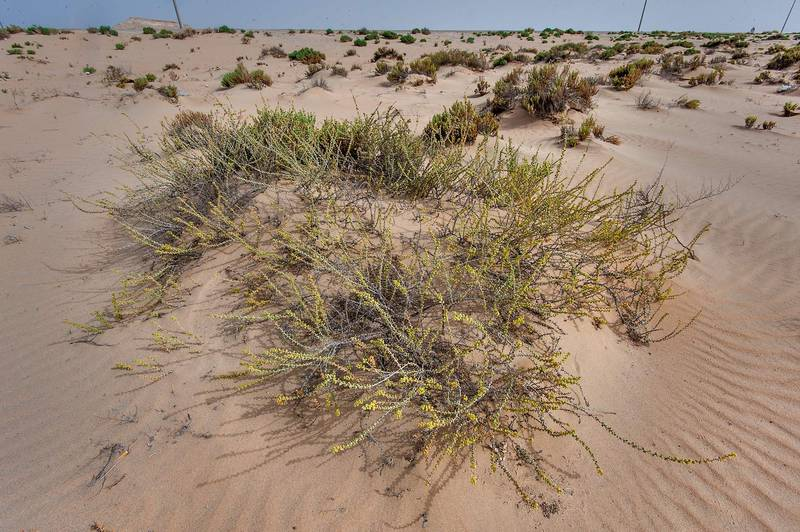 Salsola drummondii in sand mound on roadside of Salwa Road in area of Rawdat Ekdaim. Southern Qatar, April 11, 2015