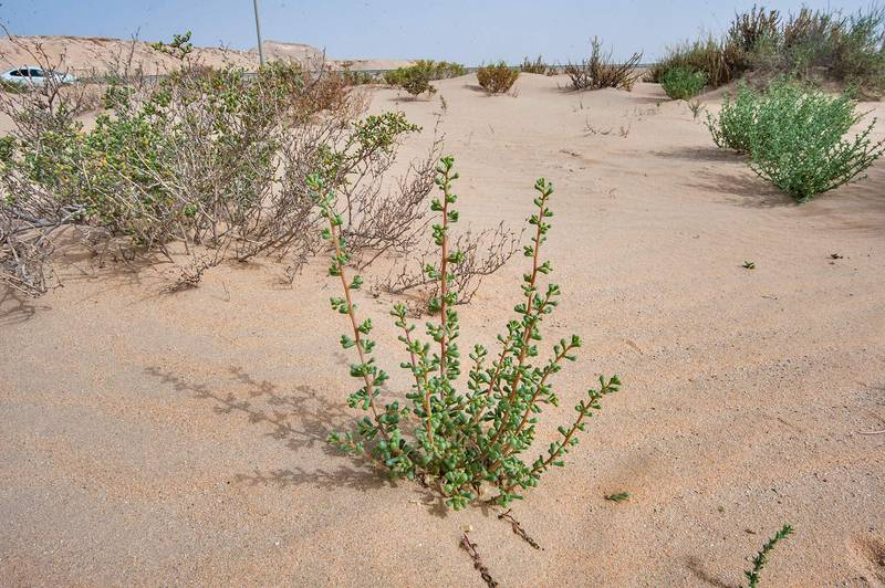 Young bush of Salsola drummondii with club-shaped leaves in windblown sand on roadside of Salwa Road in area of Rawdat Ekdaim. Southern Qatar, April 11, 2015