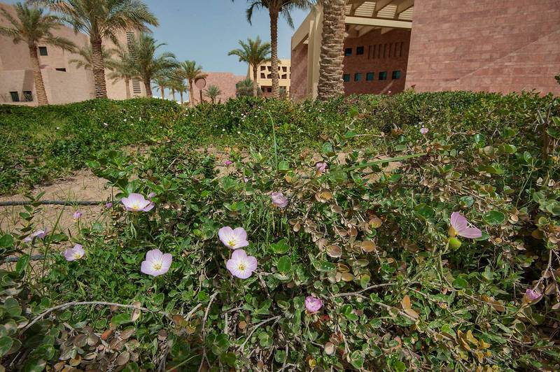 Showy Evening Primrose (Oenothera speciosa) blooming among Carissa bushes near back entrance of Texas A and M University on campus of Education City. Doha, Qatar, April 14, 2015