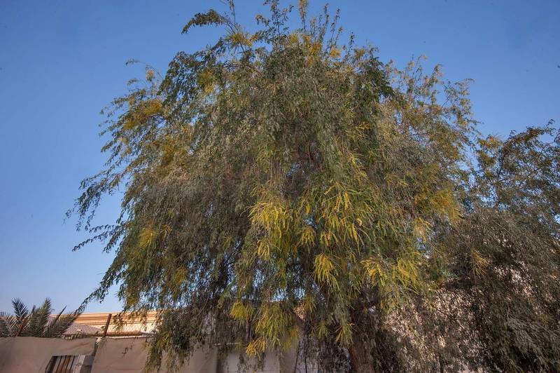 Ghaf tree (Prosopis cineraria) on Al Furqan Street in Al Luqta area. Doha, Qatar, April 16, 2015
