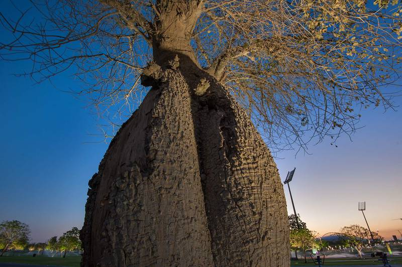 Trunk of silk floss tree (Chorisia speciosa, Ceiba speciosa, baobab family) in Aspire Park. Doha, Qatar, April 21, 2015