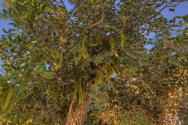 Carob tree (Ceratonia siliqua) with fruits in Aspire Park. Doha, Qatar, April 21, 2015
