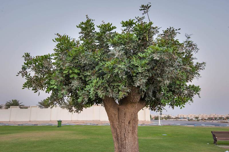 Carob tree (Ceratonia siliqua) in Aspire Park. Doha, Qatar, April 21, 2015
