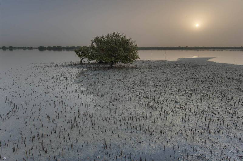 Mangrove tree (Avicennia marina) on northern tip of Purple Island (Jazirat Bin Ghanim). Al Khor, Qatar, April 24, 2015