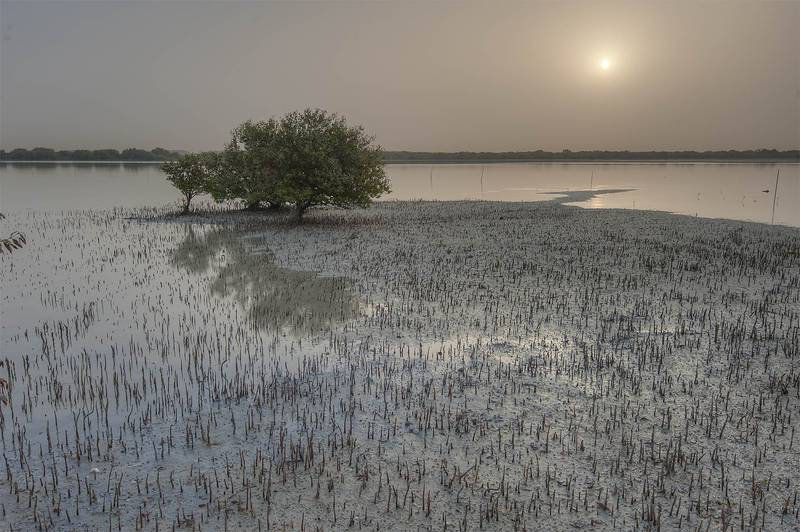 Mangrove tree (Avicennia marina) at sunrise on northern tip of Purple Island (Jazirat Bin Ghanim). Al Khor, Qatar, April 24, 2015