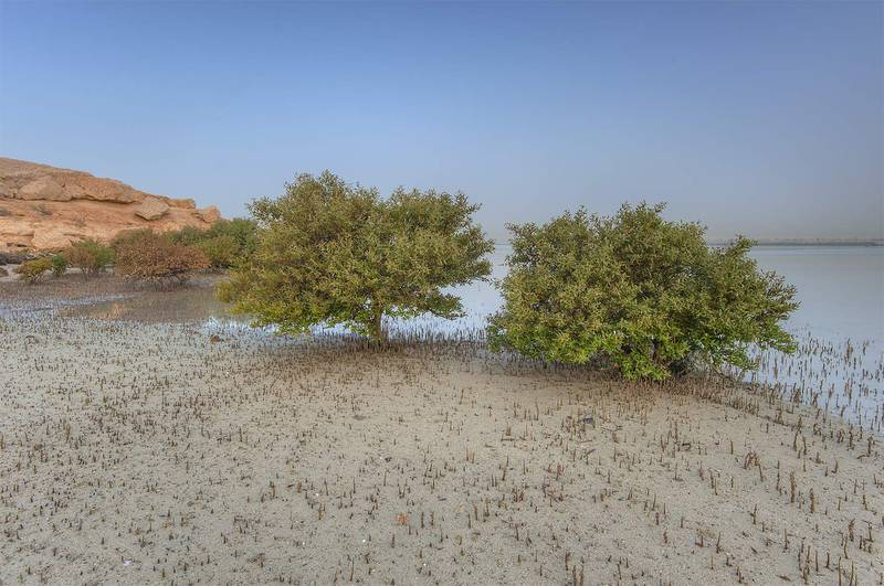 Mangrove trees (Avicennia marina) near northern cliffs of Purple Island (Jazirat Bin Ghanim). Al Khor, Qatar, April 24, 2015