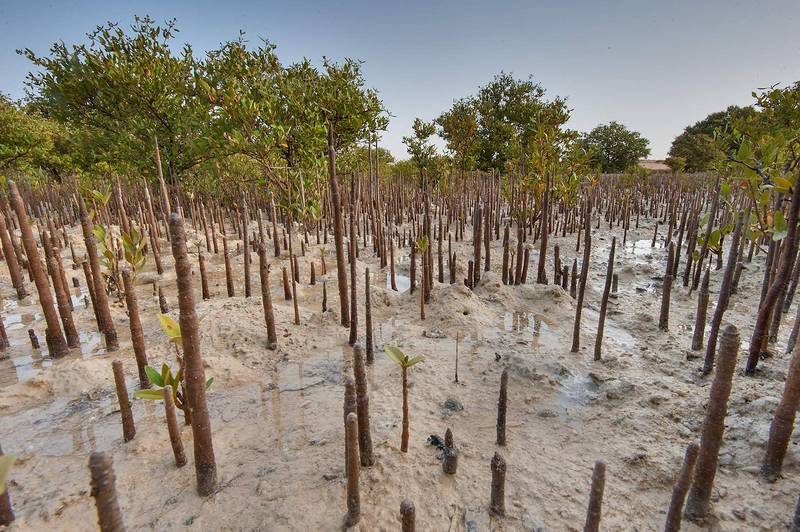 Aerial roots (pneumatophores) of mangroves (Avicennia marina) on Purple Island (Jazirat Bin Ghanim). Al Khor, Qatar, April 24, 2015