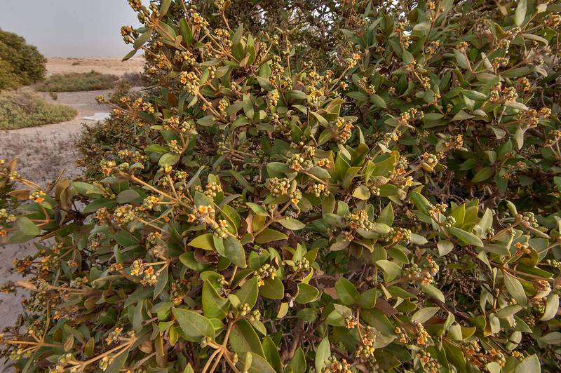 Blooming mangrove tree (Avicennia marina) on Purple Island (Jazirat Bin Ghanim). Al Khor, Qatar, April 24, 2015