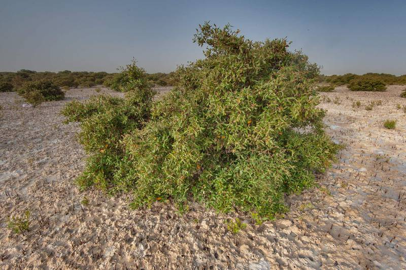 Mangrove tree (Avicennia marina) in salt marsh near Purple Island (Jazirat Bin Ghanim). Al Khor, Qatar, April 24, 2015