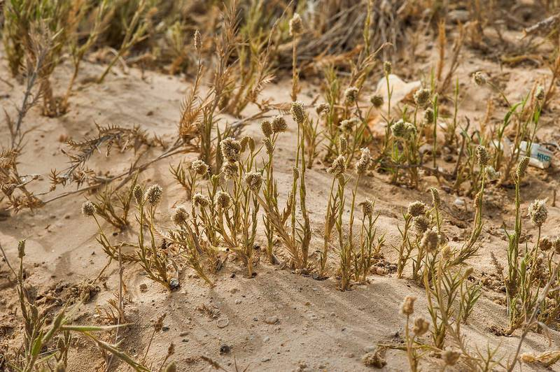 Common salt grass (Aeluropus lagopoides) in sand on roadside in Abu Samra, near the border. Southern Qatar, April 25, 2015