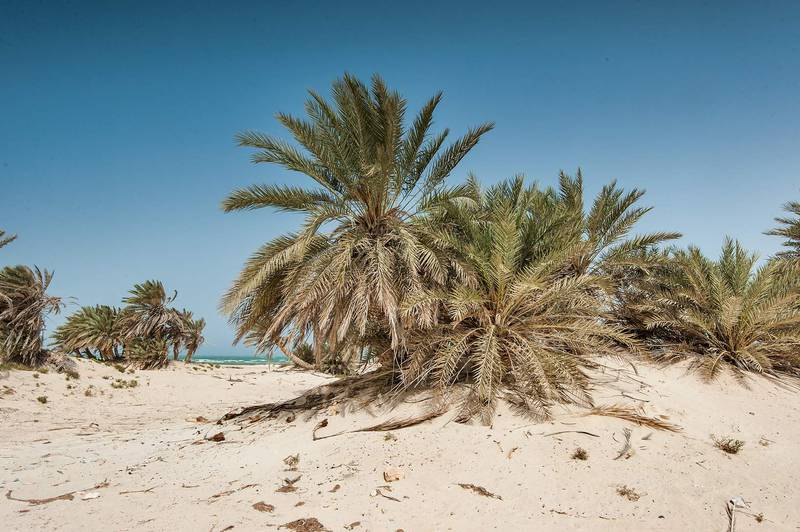 Grove of date palms (Phoenix dactylifera, local name nakheel) on a beach in the area of Al Hamala (Al Hamlah) Water Well near Umm Bab in south-western Qatar, April 25, 2015