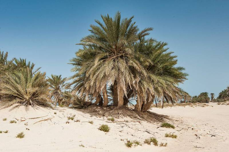 Group of date palms (Phoenix dactylifera, local name nakheel) on a beach in the area of Al Hamala (Al Hamlah) Water Well near Umm Bab in south-western Qatar, April 25, 2015