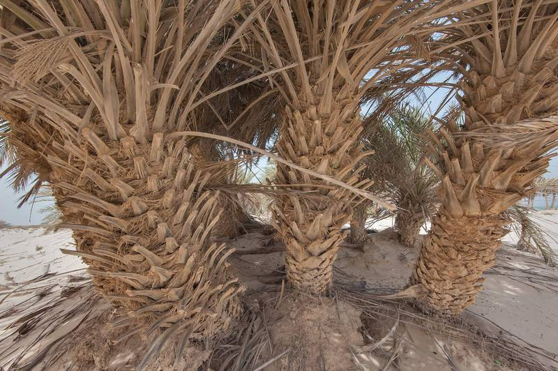 Trunks of date palms (Phoenix dactylifera, local name nakheel) on a beach in the area of Al Hamala (Al Hamlah) Water Well near Umm Bab in south-western Qatar, April 25, 2015