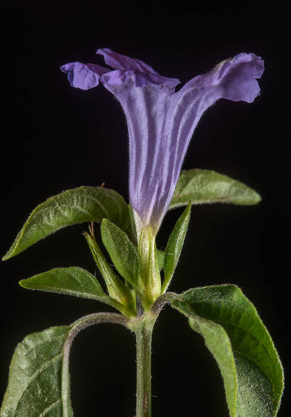 Side view of a flower of bell weed (Ruellia prostrata) taken from Al Bidda Street near crossing with Al Adaid in West Bay. Doha, Qatar, April 28, 2015