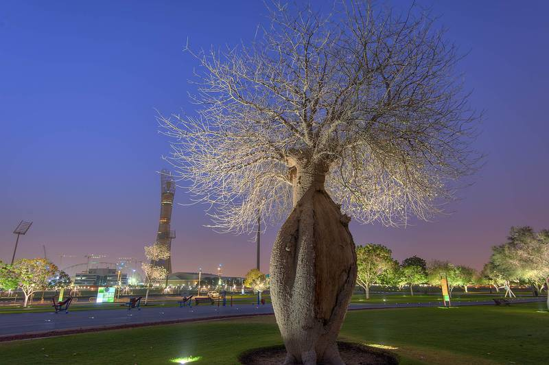 Silk floss tree (Chorisia speciosa, Ceiba speciosa) in Aspire Park. Doha, Qatar, April 29, 2015