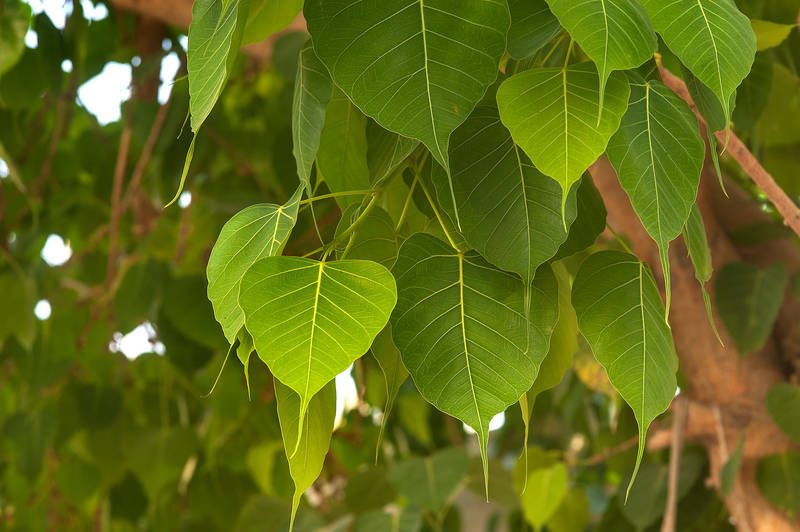 Leaves of sacred fig (Bo-Tree, Ficus religiosa) on Al Istiqlal Street Street in Onaiza area. Doha, Qatar, April 30, 2015