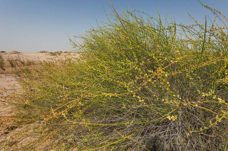 Ochradenus aucheri with flowers and fruits on periphery of Green Circles (center-pivot irrigation) in Irkhaya (Irkaya) Farms. Qatar, May 1, 2015