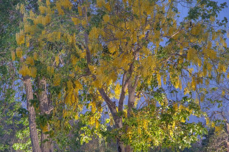 Golden shower tree (Cassia fistula) in Aspire Park at early morning. Doha, Qatar, May 2, 2015