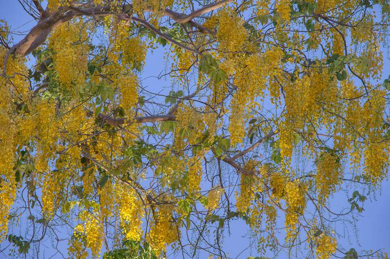 Blooming golden shower tree (Cassia fistula) in Aspire Park at morning. Doha, Qatar, May 2, 2015