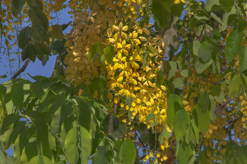 Flowers of golden shower tree (Cassia fistula) in Aspire Park at morning. Doha, Qatar, May 2, 2015