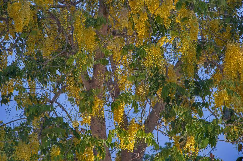 Golden shower tree (Cassia fistula) with flowers in Aspire Park at morning. Doha, Qatar, May 2, 2015