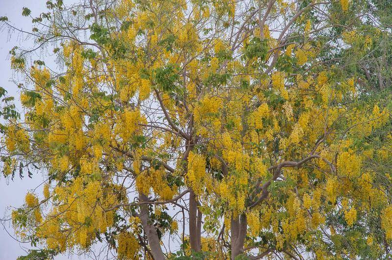 Golden shower tree (Cassia fistula) with yellow flowers in Aspire Park. Doha, Qatar, May 2, 2015
