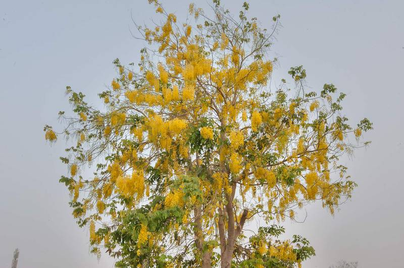 Blooming golden shower tree (Cassia fistula) in Aspire Park. Doha, Qatar, May 2, 2015