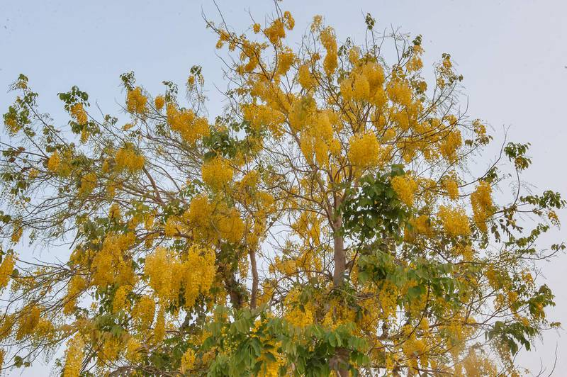Golden shower tree (Cassia fistula) in bloom in Aspire Park. Doha, Qatar, May 2, 2015