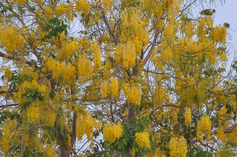 Yellow flowers of golden shower tree (Cassia fistula) in Aspire Park. Doha, Qatar, May 2, 2015