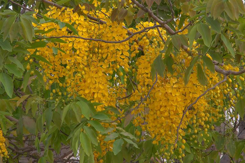 Pendulous racemes of yellow flowers of golden shower tree (Cassia fistula) in Aspire Park. Doha, Qatar, May 2, 2015