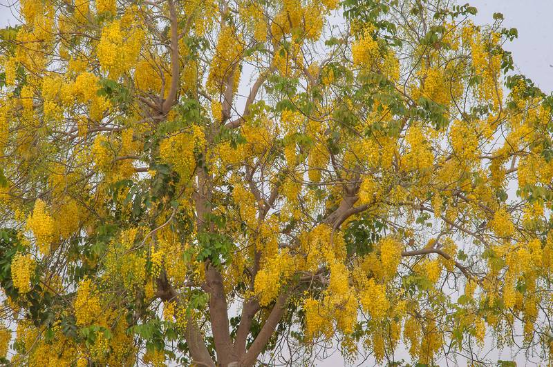 Pendulous yellow flowers of golden shower tree (Cassia fistula) in Aspire Park. Doha, Qatar, May 2, 2015