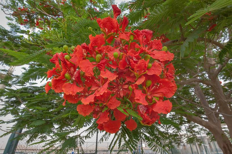Bright red flowers of royal Poinciana tree (Flamboyant, Delonix regia) in Aspire Park. Doha, Qatar, May 2, 2015