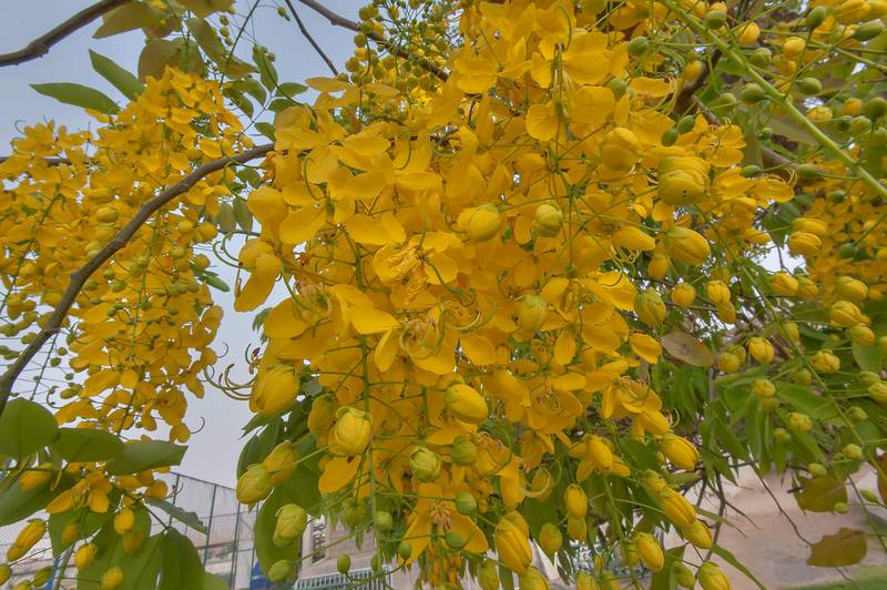 Pendulous inflorescense of golden shower tree (Cassia fistula) in Aspire Park. Doha, Qatar, May 2, 2015