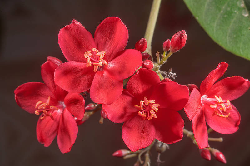 Red flowers of Jatropha integerrima on United Nations Street in Onaiza area. Doha, Qatar, May 4, 2015