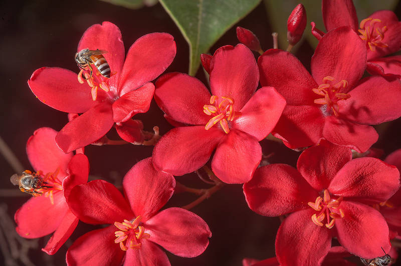 Red flowers of Jatropha integerrima with a bee on United Nations Street in Onaiza area. Doha, Qatar, May 4, 2015