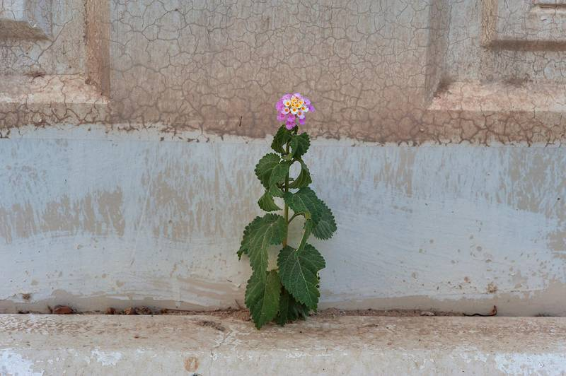Lantana camara on sidewalk in Onaiza area near West Bay. Doha, Qatar, May 7, 2015