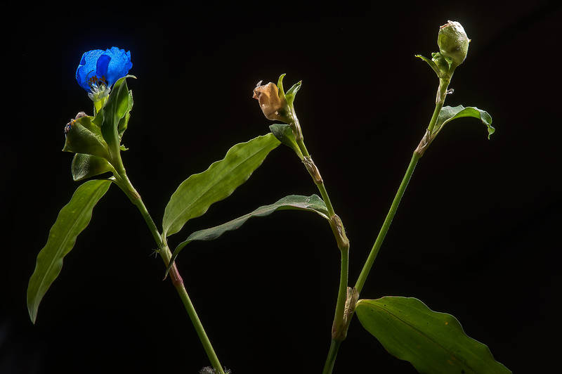 Benghal dayflower (tropical spiderwort, Commelina benghalensis) taken from a shady place under a palm at Al Rabiya Street in Al Jebailat area near West Bay. Doha, Qatar, May 7, 2015
