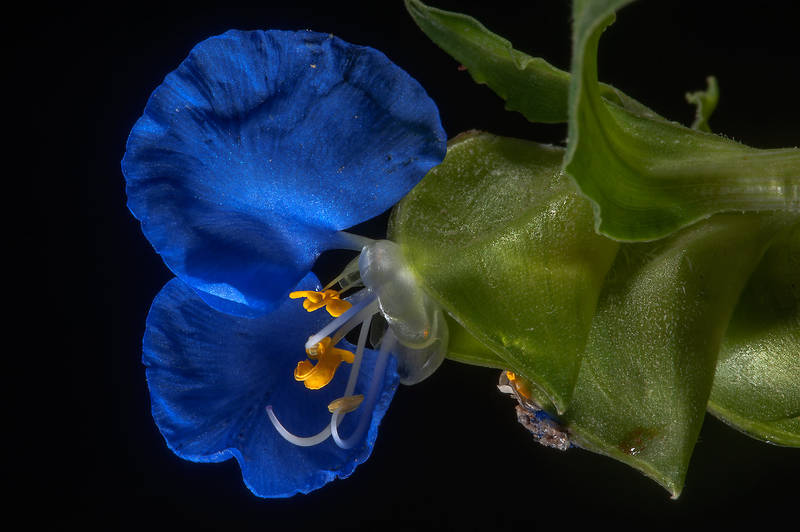 Close up of a blue flower of Benghal dayflower (tropical spiderwort, Commelina benghalensis) taken from Al Rabiya Street in Al Jebailat area near West Bay. Doha, Qatar, May 7, 2015