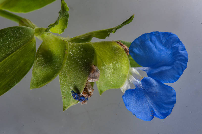 Benghal dayflower (tropical spiderwort, Commelina benghalensis) on white background taken from Al Rabiya Street in Al Jebailat area near West Bay. Doha, Qatar, May 7, 2015
