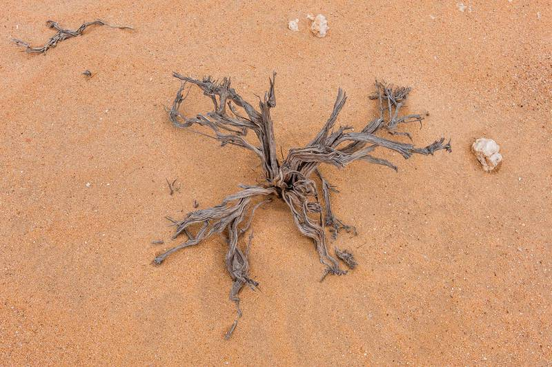 Dry plant skeleton of Tetraena qatarense (Zygophyllum qatarense)(?) in area of Nakhsh Mountain near Salwa Road in southern Qatar, May 8, 2015