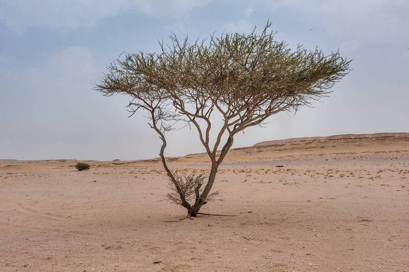 Acacia tortilis(?) in area of Nakhsh Mountain near Salwa Road in southern Qatar, May 8, 2015