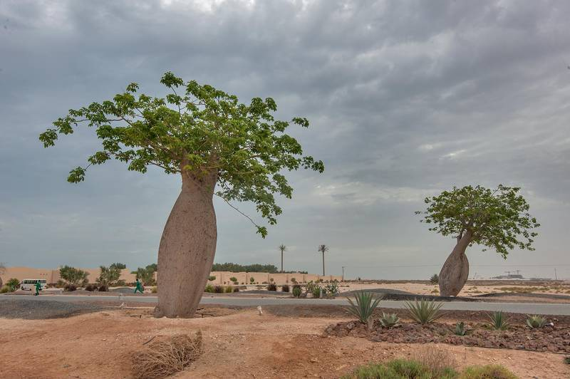 Silk floss trees (Chorisia speciosa, Ceiba speciosa, baobab family) near a beach in Al Jassasiya, on north-eastern coast. Qatar, May 9, 2015