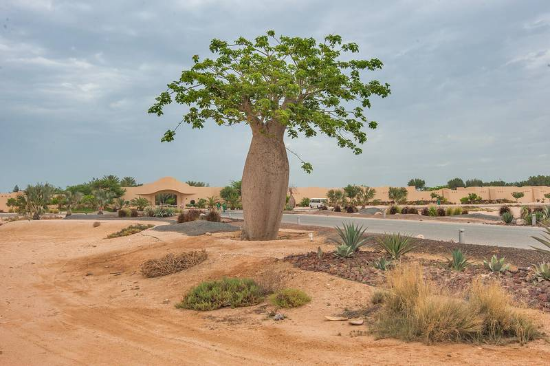 Silk floss tree (Chorisia speciosa, Ceiba speciosa, baobab family) planted in Al Jassasiya, on north-eastern coast. Qatar, May 9, 2015